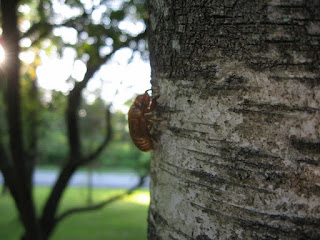 Cicada skins on tree, view 3
