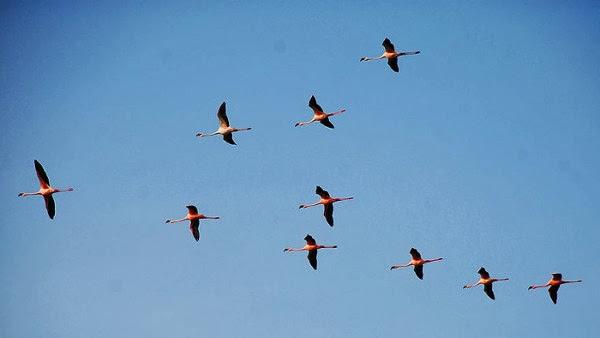 Mengapa kawanan burung terbang membentuk formasi?