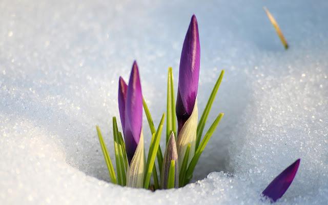 Paarse krokussen in de sneeuw