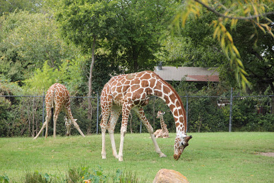 Giraffes Cropping Grass