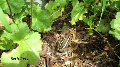 Frog in geraniums