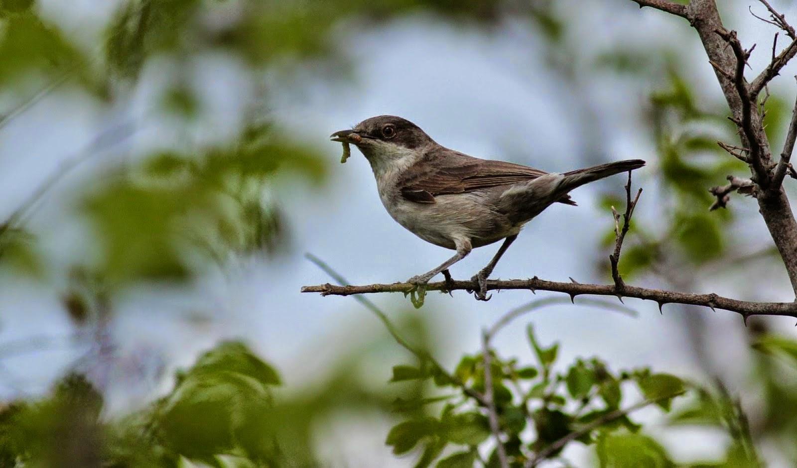 Eastern Orphean Warbler copyright Iordan Hristov