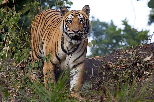 Tiger-in-Bandhavgarh-National-Park