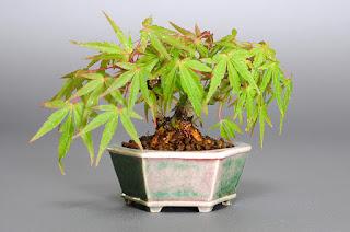 オリヒメモミジB(織姫もみじ盆栽)Acer palmatum subsp. matsumurae bonsai