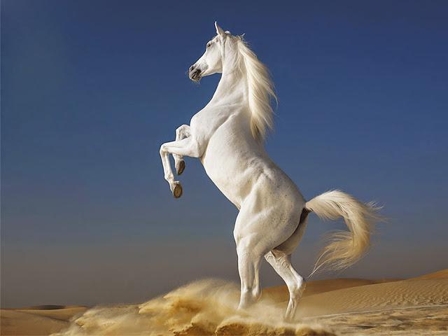 Gorgeous White Horse In Desert