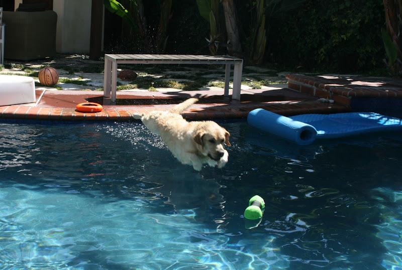 Labrador pool dive