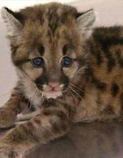 jaguar cub found in Sao Paulo sugar cane field