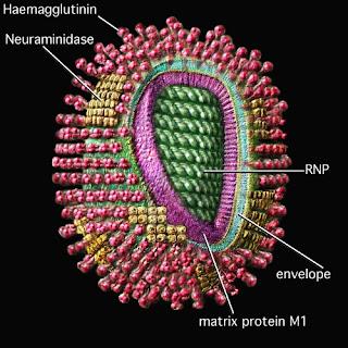 Cấu trúc kháng nguyên của virus cúm.