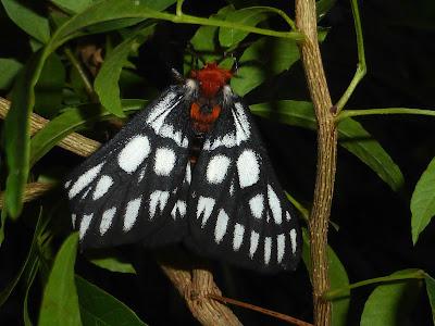 Hemileuca chinatiensis