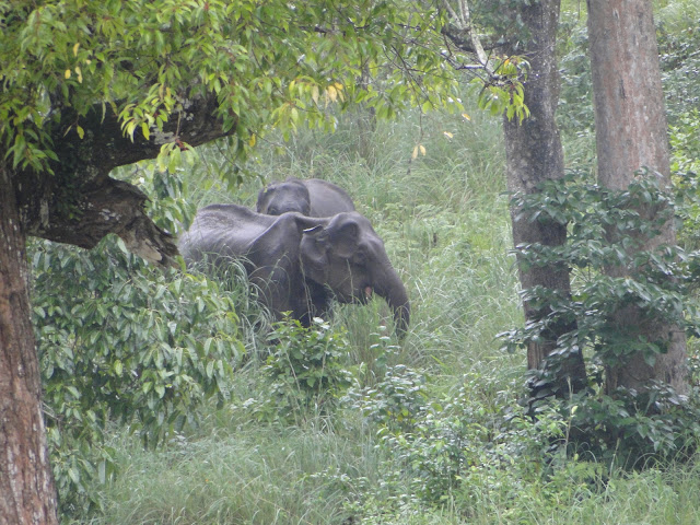 Wild elephants, K Gudi