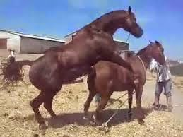 Horse having sex mating