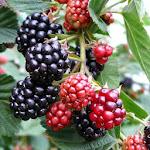 Cultivo pequenos froitos