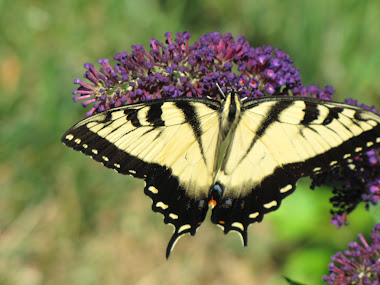 Yellow Tiger Swallowtail on Butterfly Bush