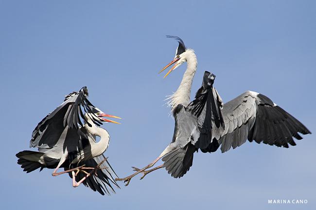 Burung wrestling di udara
