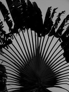 Arbre ornementale de Guyane : le palmier