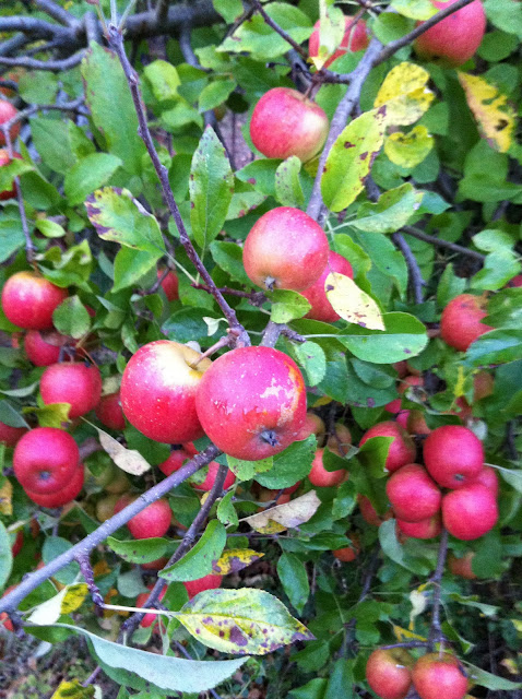 Autumn garden apples