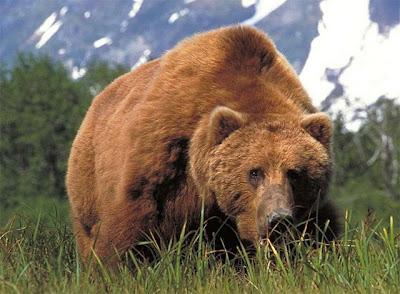 [Image: Beruang%2BCoklat%2BKesagake.jpg]