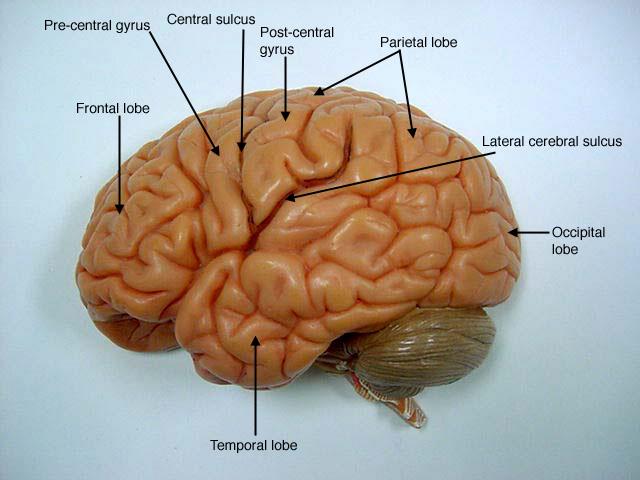 Anatomical Brain Model4