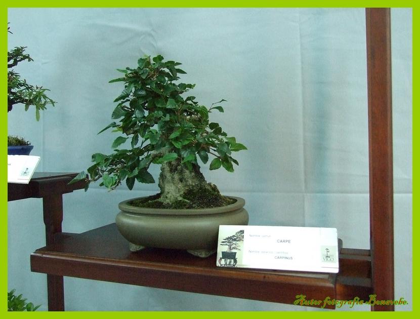 Divagando desde vigo a mi entender exposici n de bonsai - Arce arbol espana ...