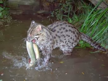 Fishing cat animals amazing facts latest pictures for Fish videos for cats
