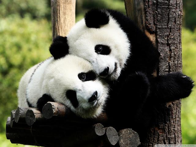 Download Panda Images Backgrounds Desktop 1024x768