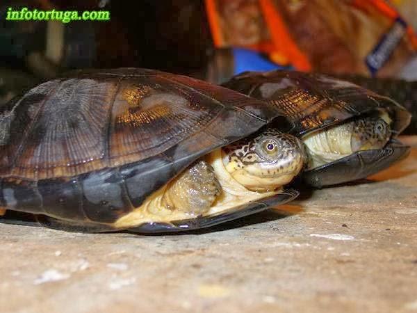 Pelusios subniger - Tortuga de cuello oculto africana