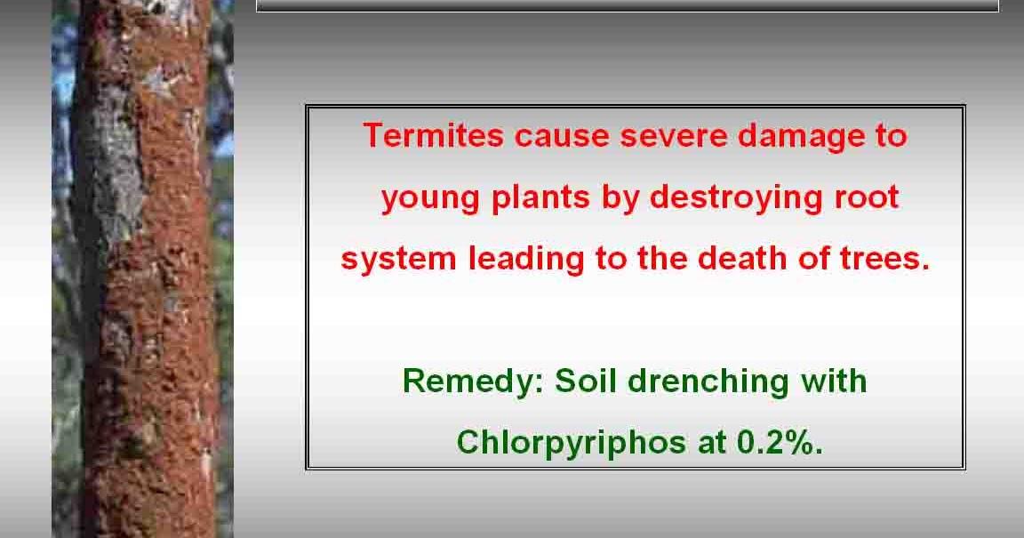 Chemical Termite Control Natural Home Depot Clove