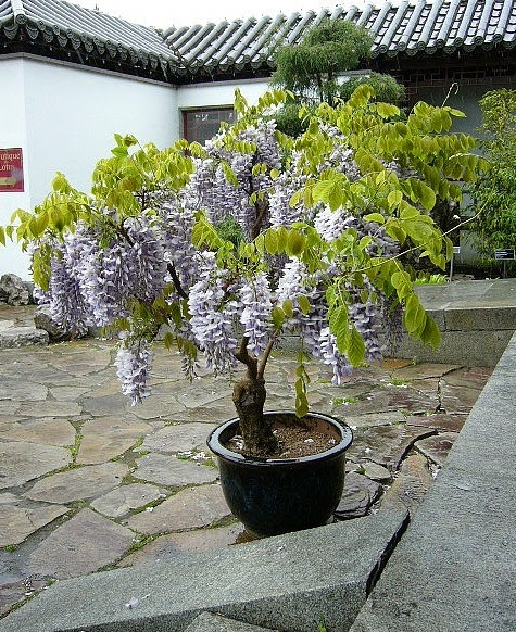 coppercafe growing wisteria in pots