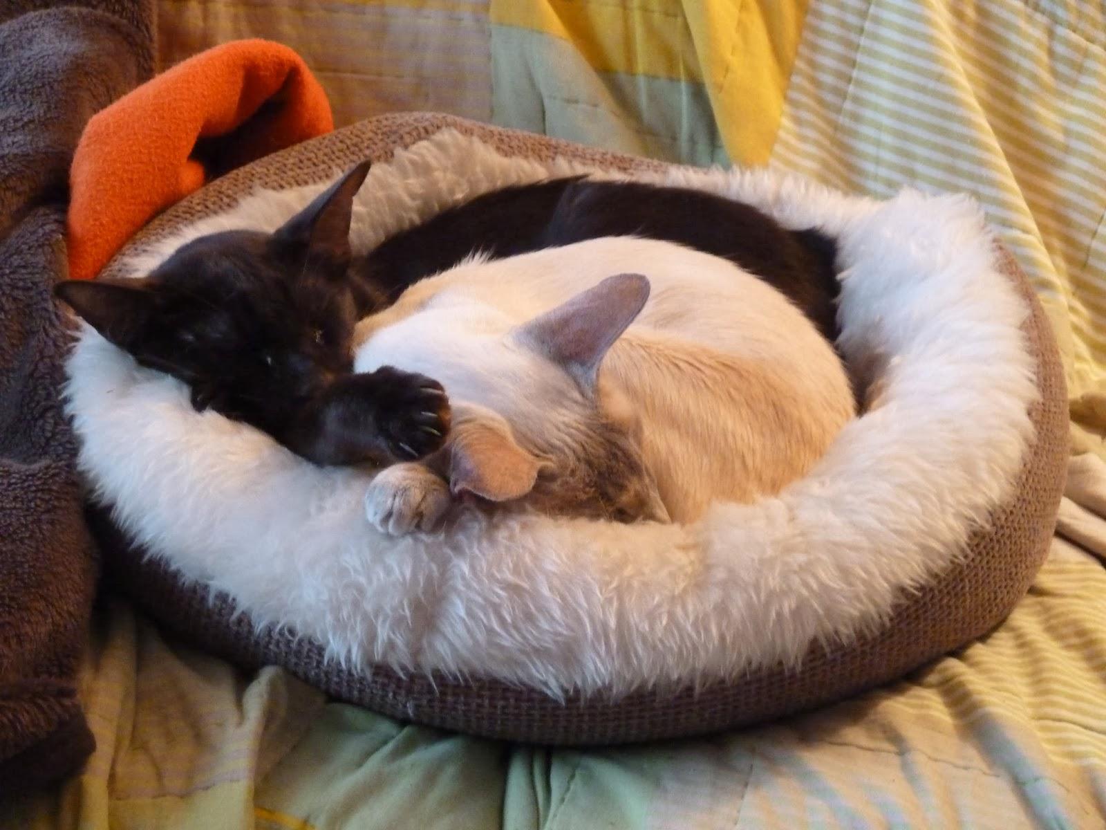 Snoozing Siamese