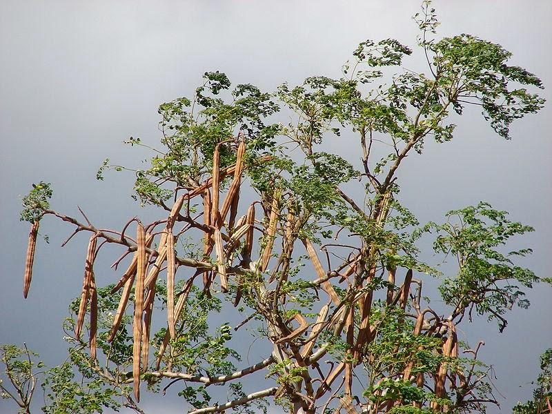 Siêu trà Cây chùm ngây Moringa cây từ Himalaya hùng vĩ
