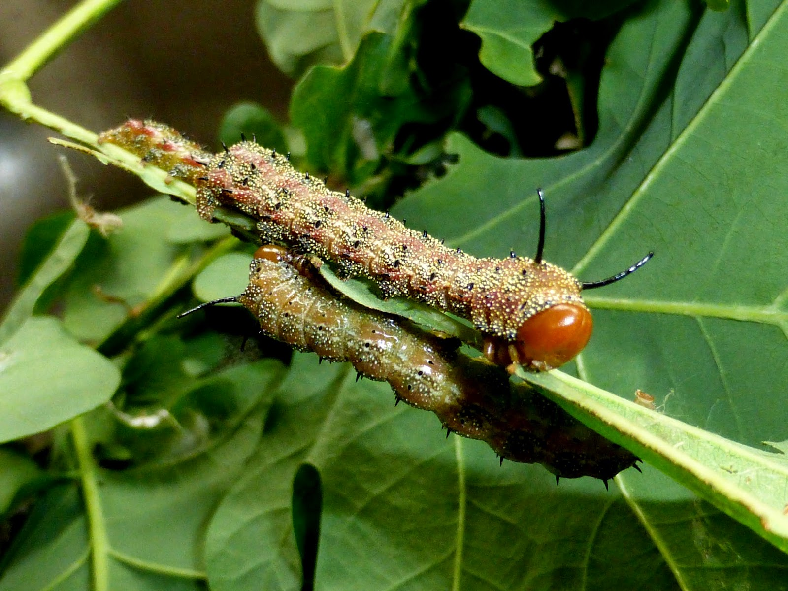 Anisota virginiensis L4 caterpillar