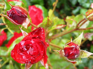 Red roses holding a lot of rain