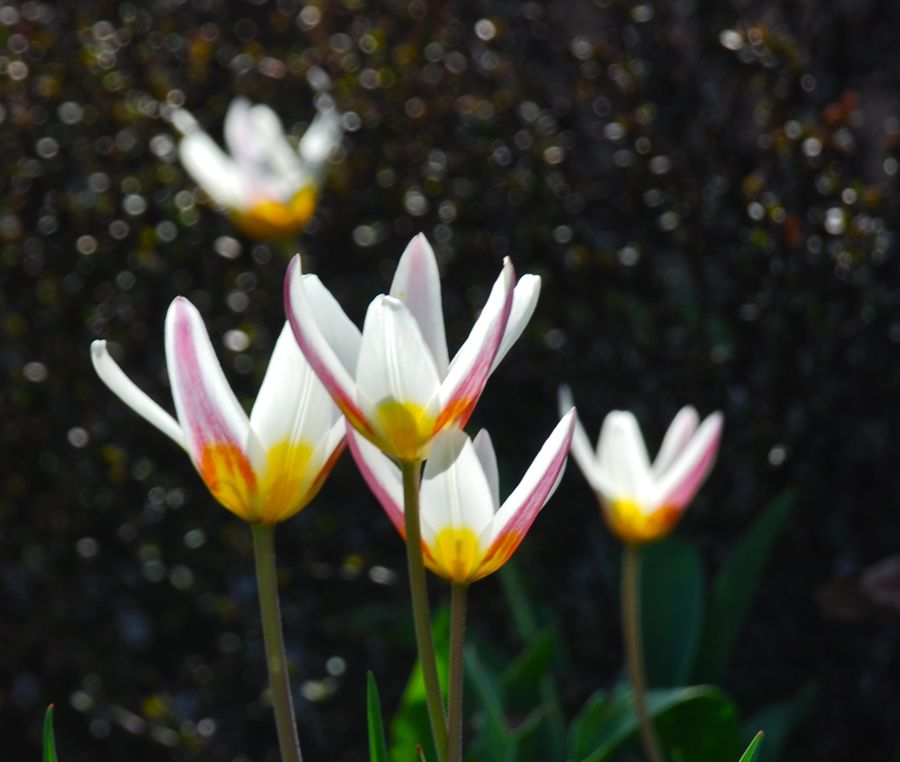 The purple flames on Tulipa 'Ice Stick' helps to create some beautiful spring color combinations. This unusual tulip is a Kaufmanniana Hybrid, which is 12 inches tall. HZ: 4-8.