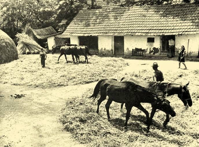 Charming The Process Of Threshing Is Performed Generally By Spreading The Sheaves On  The Threshing Floor And Causing Oxen, Cattle Or Horses To Tread Repeatedly  Over ...