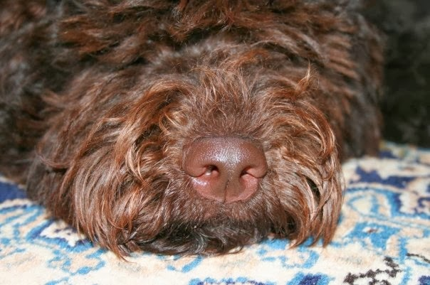 Ruskean koiran ruskea kirsu
