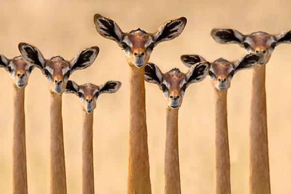 Gerenuk - An Antelope of Somalia &#9829;