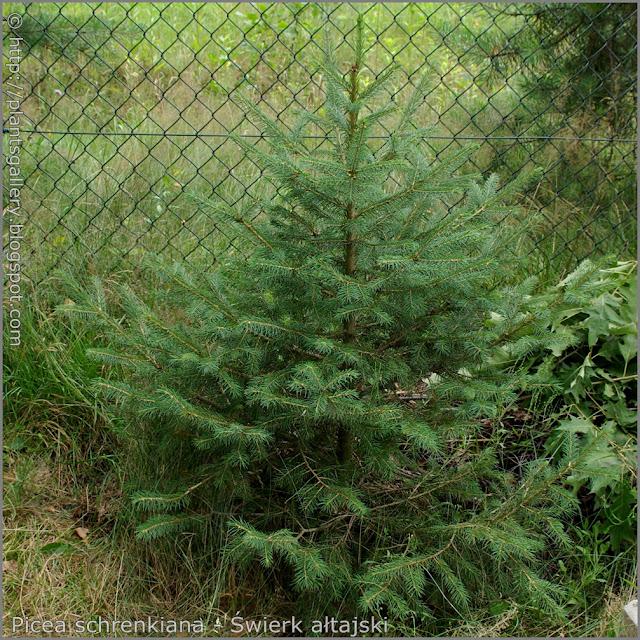 Picea schrenkiana habit - Świerk ałtajski pokrój