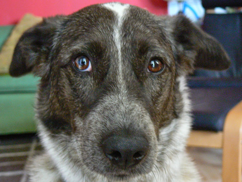 Photograph of a Queensland Heeler mixed breed dog with heterochromia
