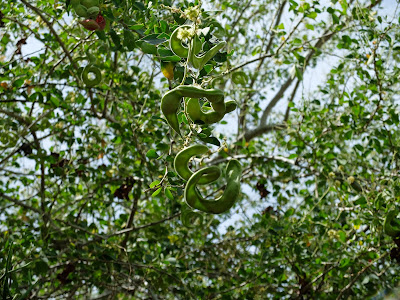 Guacmuchil (Pithecellobium dulce) pods and tree