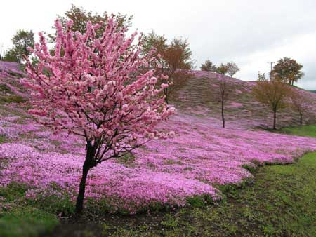 استراحة في  المهرجان الوردي  بلاد العجائب ... اليابان .....