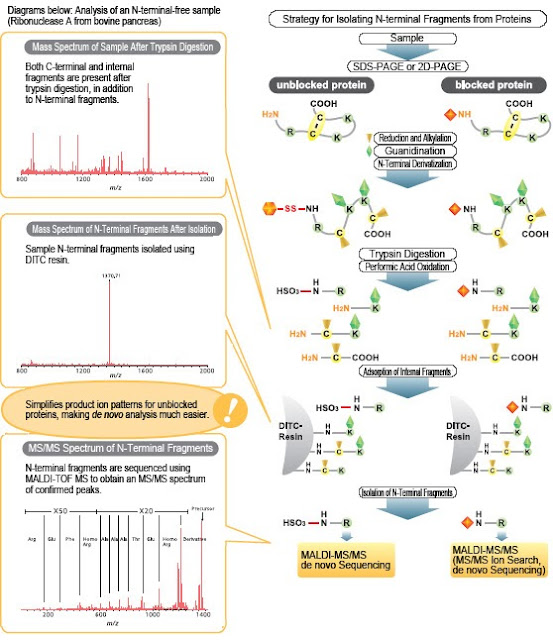 N and C terminal protein sequencing