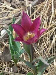 Première tulipe 2013