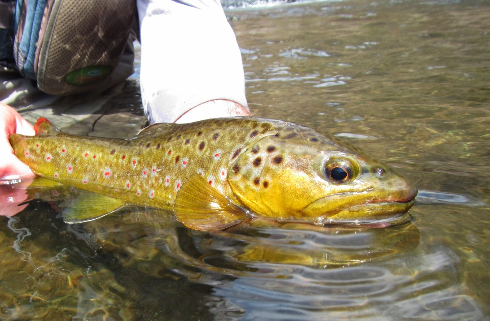 Western maryland fly fishing for Md trout fishing