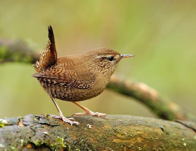 Ptice pevačice