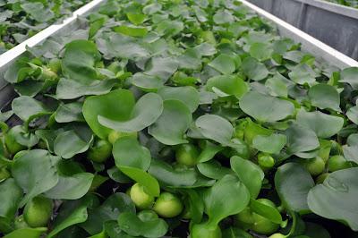 Cultivo de aguapé