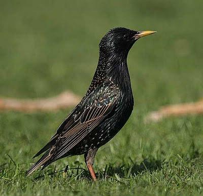Burung Jalak sangat sulit membedakan jalak jantan dan b