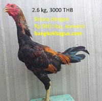gambar ayam birma dan harga ayam birma