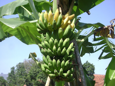 Pisang Rasa Durian