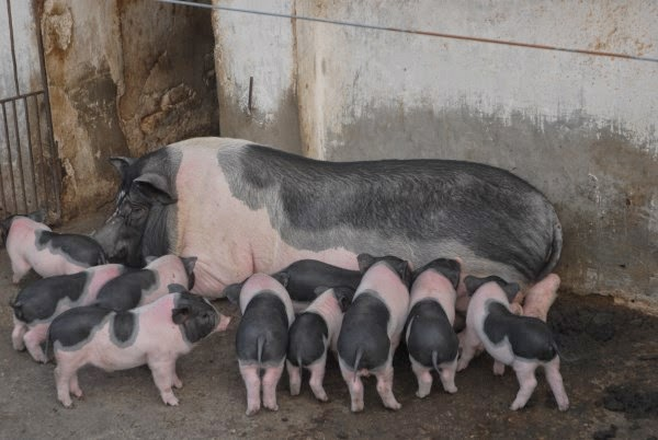 Một Số Giống Lợn Phổ Biến Ở Nước Ta