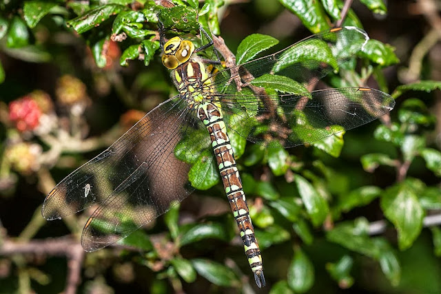 Female Southern Hawker (Aeshna cyanea), at rest, photographed, Lodge Lake, Milton Keynes, 2012